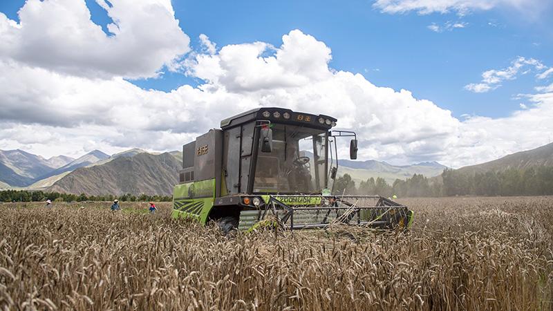 ハダカムギが収穫期迎える チベット自治區ラサ市