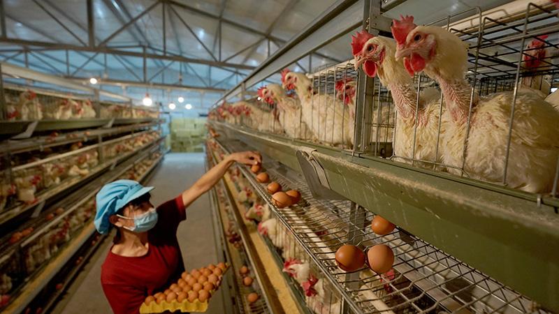 養鶏場建設で山間部住民の収入増を後押し 河北省沙河市