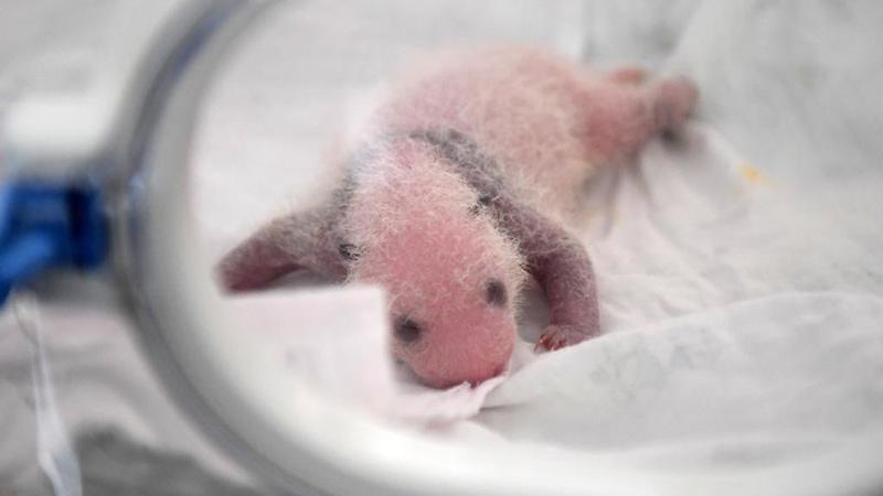 中國の重慶動物園で雙子パンダ誕生 今年2度目