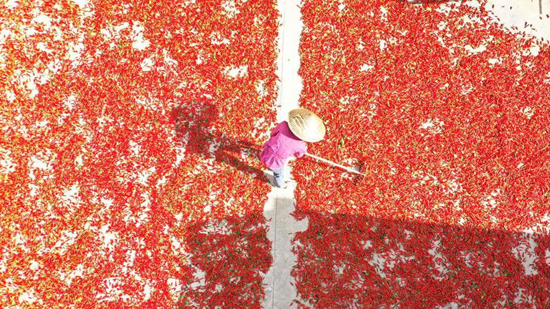 トウガラシ産業が農村振興を後押し 貴州省遵義市